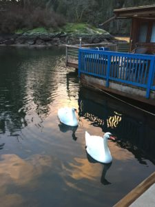 Swans at Maple Bay